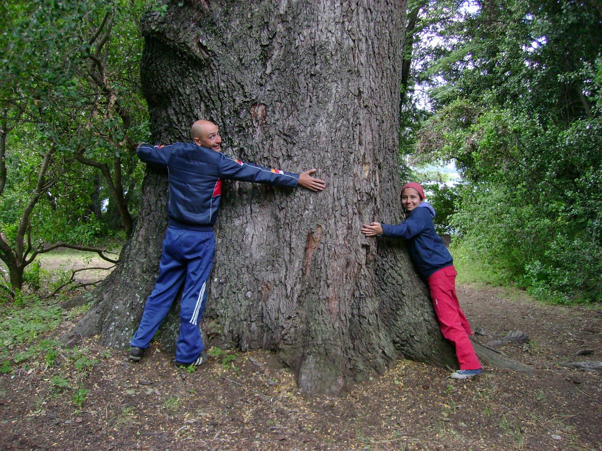 "#Nothofagus dombeyi ( #Nothofagaceae), v.n. ""coihue"" (from #mapugundun), the tallest sp in the genus, reaches 40m. Here in its natural environment, Gutiérrez lake,  #Bariloche, #Patagonia #Argentina #plantlove #iamabotanist #pflanzenderheimat #scientiaamabilis #floraargentinapic.twitter.com/MfTPyVzRBq"