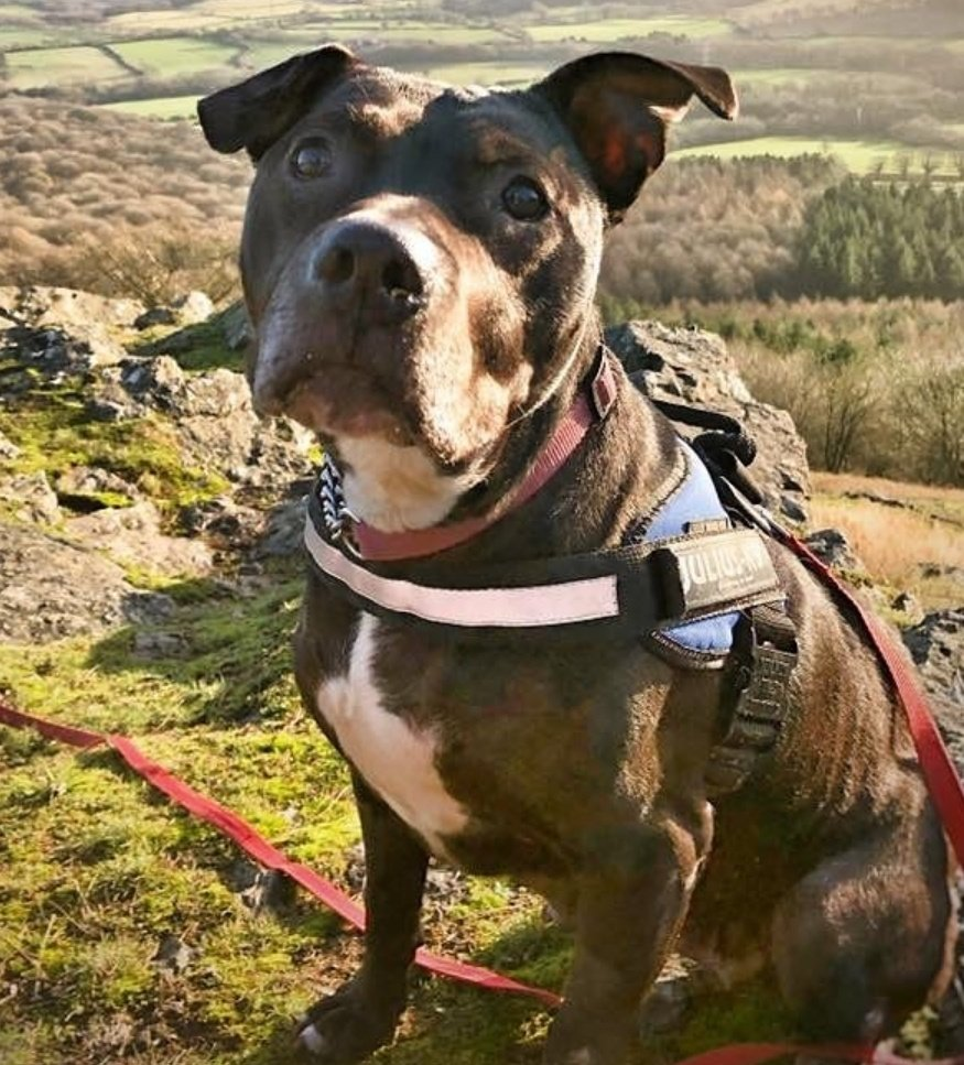 Daisy is an adorabull girlie in rescue @SeniorStaffy and shes on the lookout for a fabulous furever home today, please help? All info and enquiries at seniorstaffyclub.co.uk/daisy/ #Teamzay #itsallaboutthedogs #Rescue #AdoptDontShop #seniorstaffy ❤️❤️