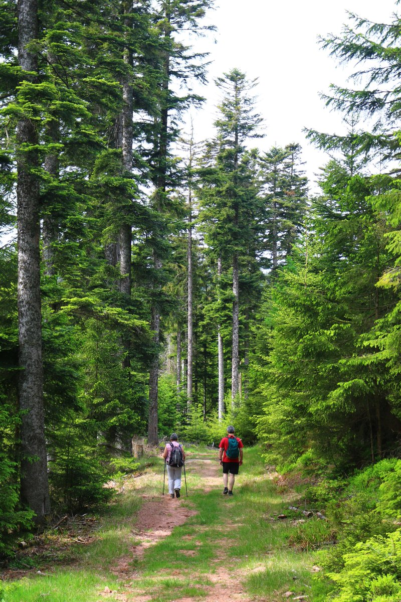 Thanks to lockdown easing, we are now able to freely walk along the fabulous Vosges range trails ... #Vosges #Donon #beech #fir https://t.co/supPUzGEqT