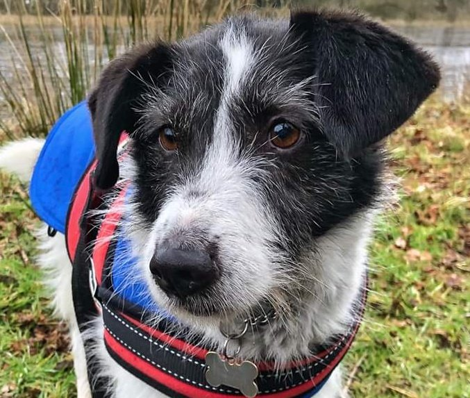 Brandy is a gorgeous little fella in rescue @HilbraesDogs near Telford in #Shropshire and hes on the lookout for a loving forever home today, please help? Call the kennel team on 01952 541254 any day between 12 and 4pm for more information ❤️ #Teamzay #Rescue #TeamHilbrae