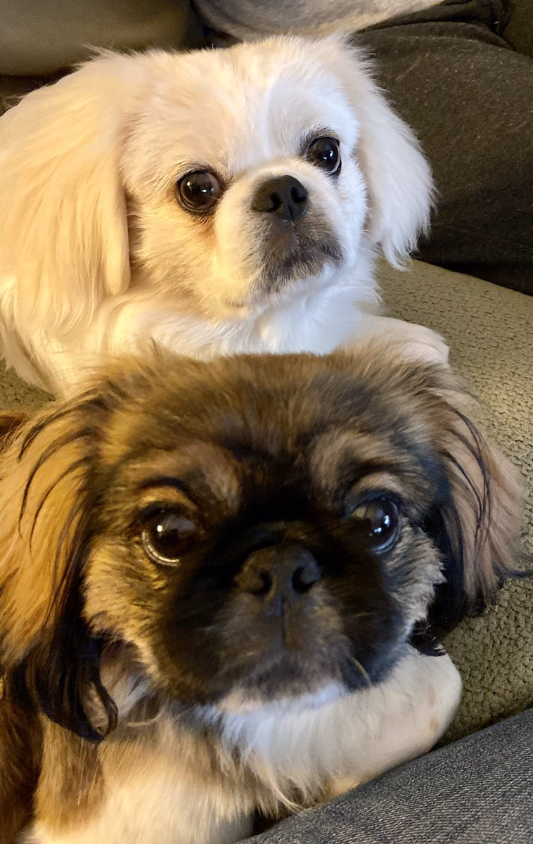 @JillFilipovic You haven't been loved until you have the love of Peke babies