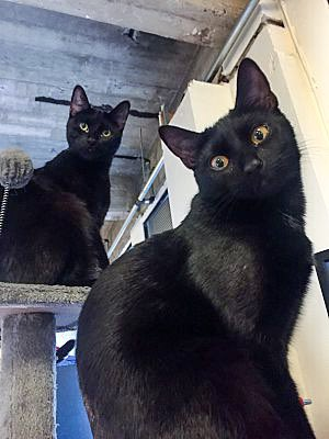 Happy #Caturday from bonded sisters Petey & Charley!  These easy-going girls are fun & get along with everyone - available for adoption through our rescue!  #CatsOfTwitter #adoptme #cats #blackcats #LosAngeles #cute #CuteCats #COVIDー19 #SaturdayThoughtspic.twitter.com/vbAl3bBXJx