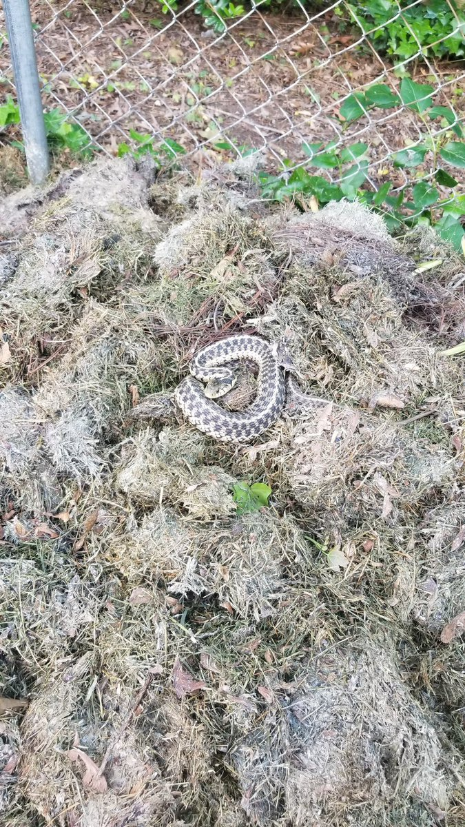 Went back to the compost pile and saw this. What kind of snake is this? @BCPSOutdoorSci @BCPSSci