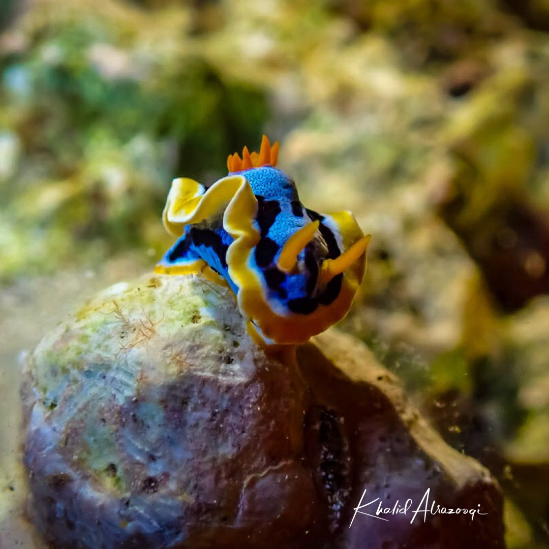Chromodoris annae is a species of sea slug, a very colourful nudibranch, a shell-less marine gastropod mollusc in the family Chromodorididae #Nudibranch #diving #sea #underwaterphotography #scuba  #ocean #scubadiving #dive #fish #nature #padi #water #travel #summer #beachpic.twitter.com/UvweOhnqOH