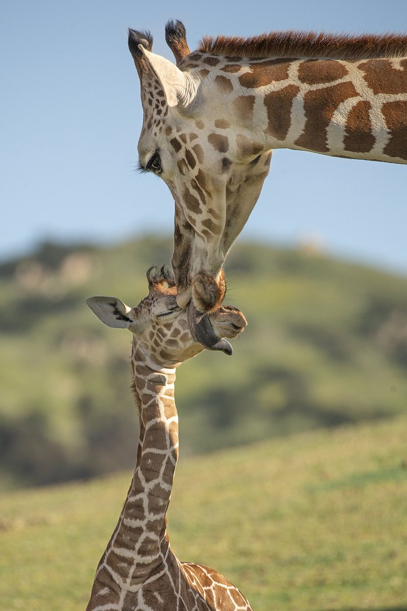 Mom: Hold still, I missed a spot. Calf: Not in front of my friends <br>http://pic.twitter.com/M5vpgWTqaD