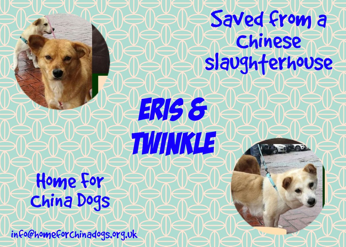 OUR DOGS OF THE MONTH, ERIS & TWINKLE have seen the horrors inside a Chinese slaughterhouse & thankfully were spared the same fate their pals endured. They have a unique bond & must stay together in the #Devon #Cornwall area. homeforchinadogs.org.uk/adoptable-dogs #TeamZay