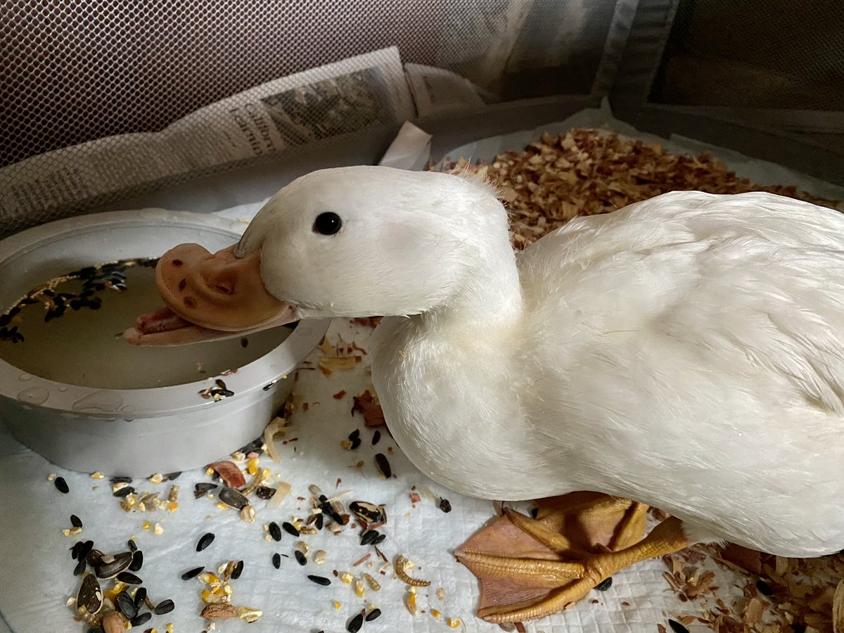 Successful rescue today. This poor #Pekin duckling and her 3 domestic friends are new dumps to Barnes Park. She was starving and weak because she can't really eat without a deep dish. Her adopter needs help with a name! Any thoughts? Oh yeah... and stop #DumpingDuckspic.twitter.com/8FMxaErEUJ