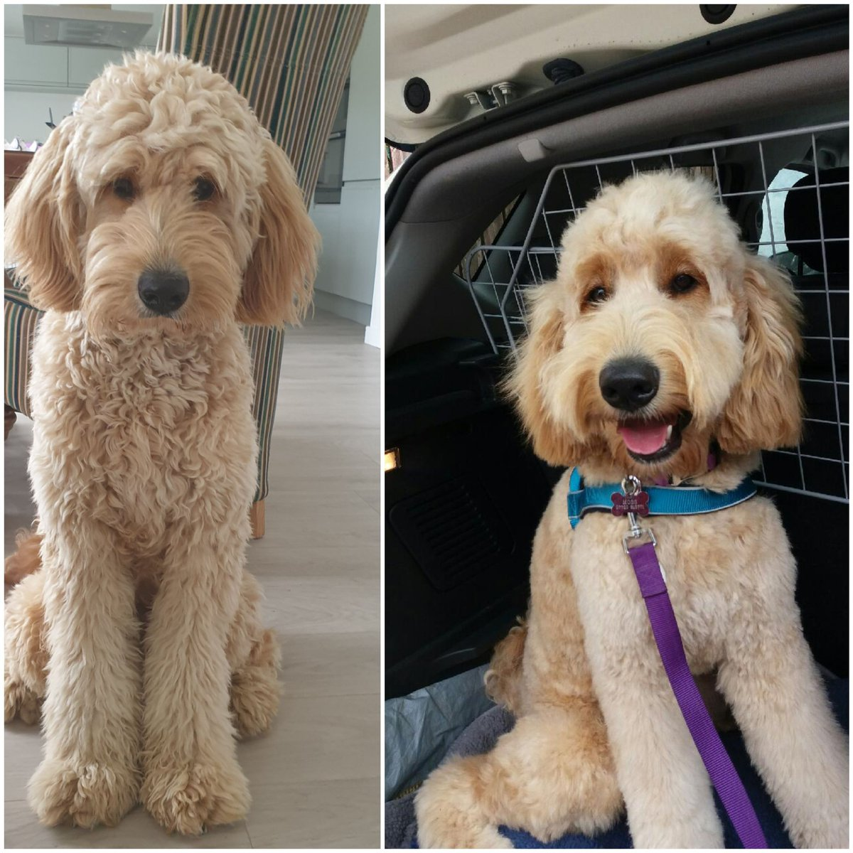"""Good evening everyone, I hope you are all safe and well? I am smelling """"lovely"""" according to Her Indoors but I had to have a good roll on the grass as soon as we got back from the groomers to smell more """"me""""  #BeforeAndAfter #stylish #SaturdayVibes #StayAtHomeSaveLivespic.twitter.com/XwS7fxFglU"""
