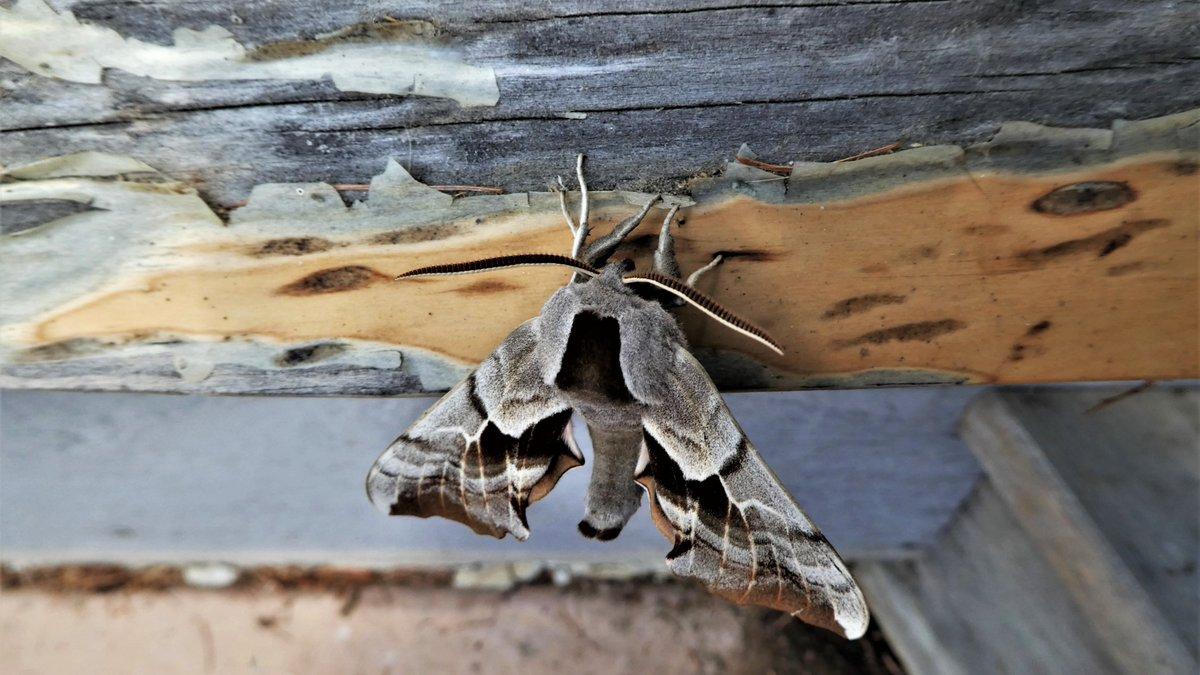 Its legs are like tree roots. #moth #camouflage #bluegraypic.twitter.com/Zo0SRsU0z3