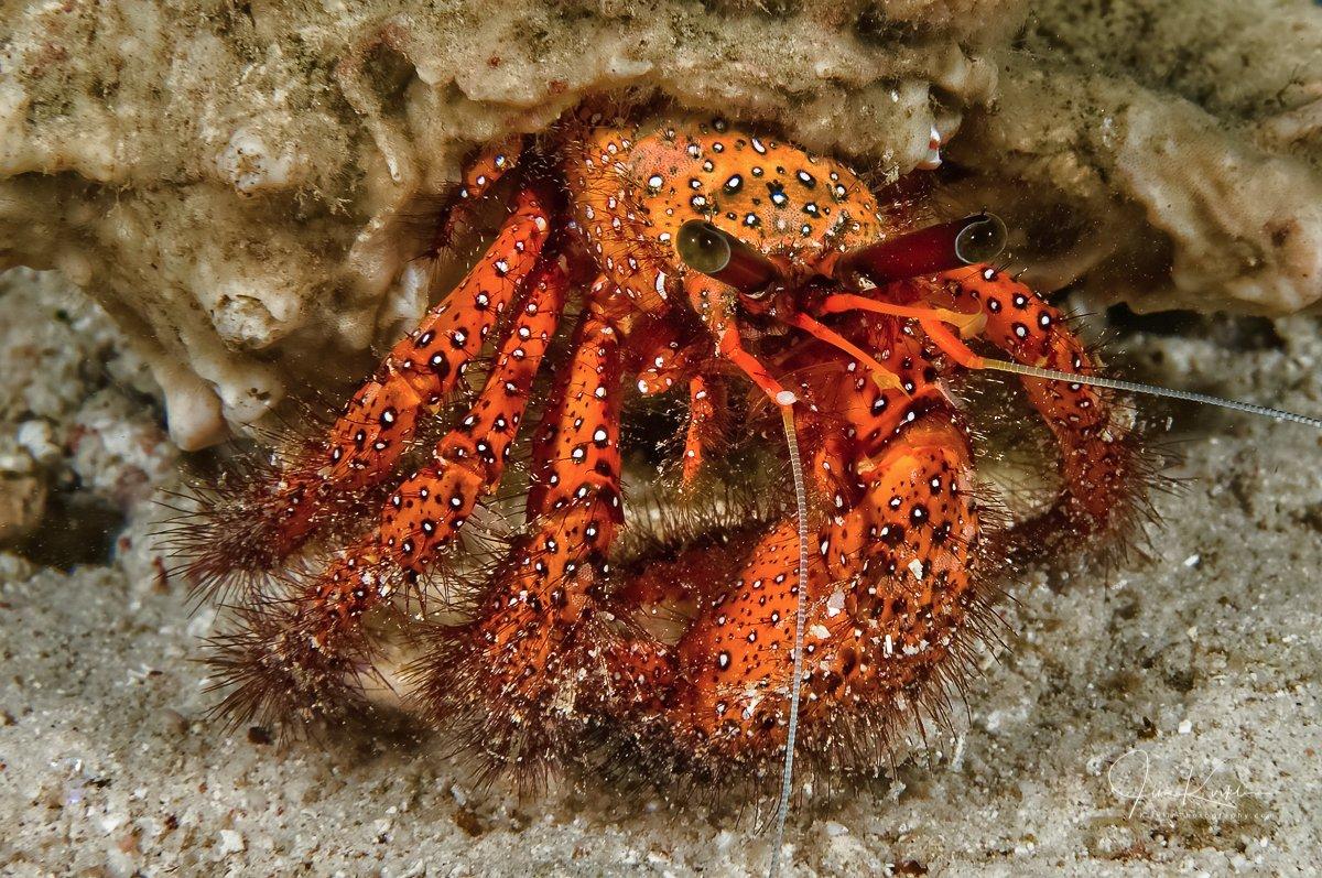 I got me some eye-stalks! #PhotoOfTheDay #Underwater #UnderwaterPhotography #Scuba #ScubaDiving #ReefLife #Tropical #Diving #Solomons #SolomonIslands #Travel #TravelPhotography #IslandLife #Crab #HermitCrab #DailyPhoto #Eyes #Portrait #DailyPic #SouthPacificpic.twitter.com/32vTTFjLp2