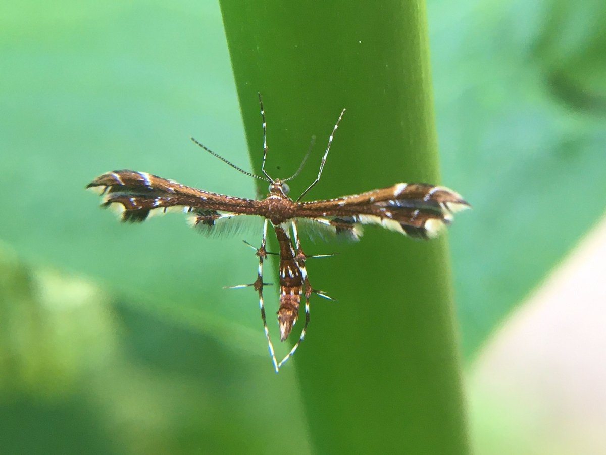 Met a tiny new moth friend perched on a milkweed stalk today- I think a grape plume moth😃 𝘎𝘦𝘪𝘯𝘢 𝘱𝘦𝘳𝘪𝘴𝘤𝘦𝘭𝘪𝘥𝘢𝘤𝘵𝘺𝘭𝘶𝘴?