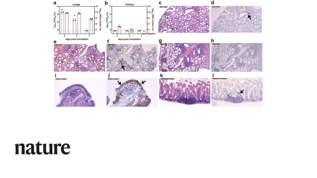 A paper in Nature reports that SARS-CoV-2 infection in golden hamsters resembles features found in humans with mild infections. The findings suggest this small animal model may be suitable to support #COVID19 vaccine and therapy development. go.nature.com/3fYYgDt