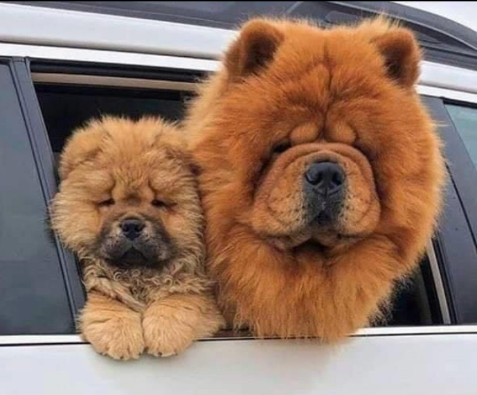 Good Morning everyone, Happy Sunday what are your plans today?  I found this photo today and it made me think I spent my childhood down a yard where they had chow chows. Iv never seen one since. Has anyone else seen a #Chow lately. Apart from crufts?  . . #DogLovers #DogMadpic.twitter.com/s9OdSGiQiM