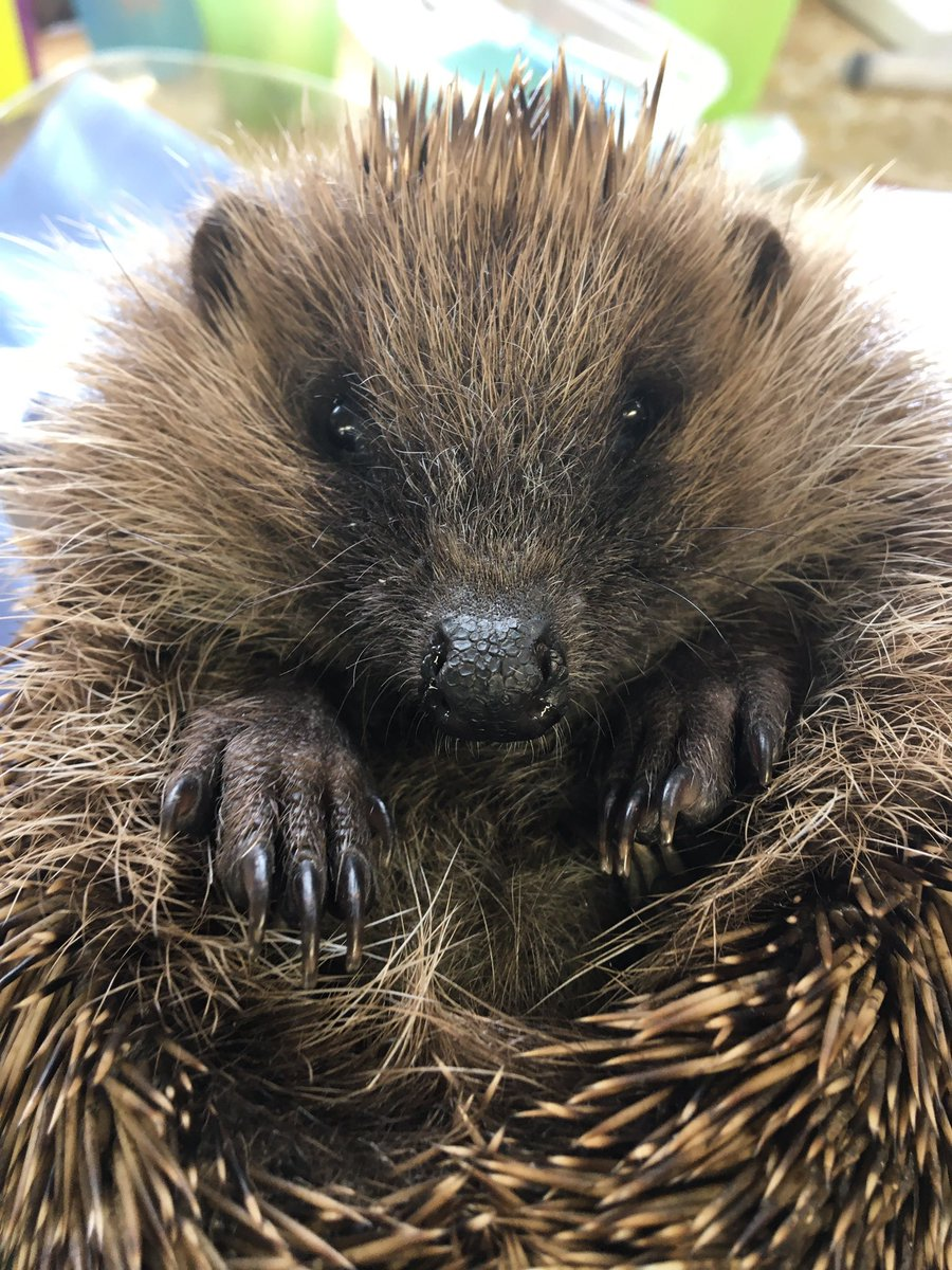 Good morning from Gertrude   We have a busy morning ahead assessing the 4 new arrivals from yesterday and a few for release   #hedgehog #goodmorning #Cornwall #charity #wildlifepic.twitter.com/fKGIXLMqgc
