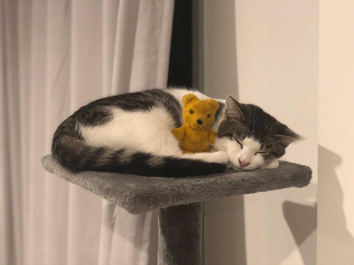 Lucky enough to enjoy Oreos company  #oreo #cat #Caturday #CatsOfTwitter #cats #sleeping #Teddy #teddybear #style #cuddles #lifestyle #cute #kawaiipic.twitter.com/cs5aS4S3UT