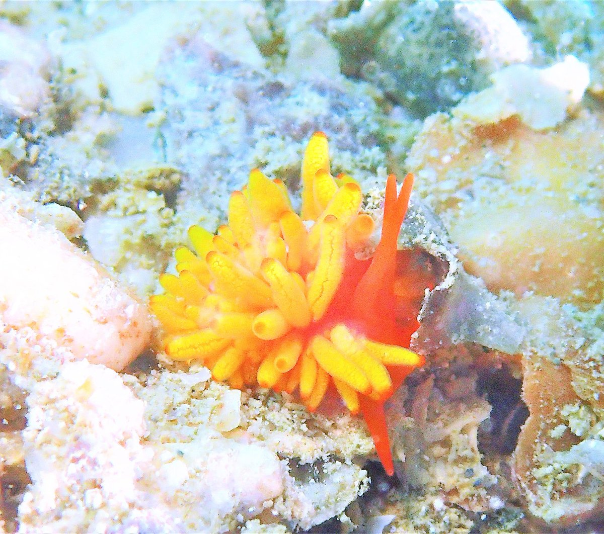 Okinawa Diving  #スキューバダイビング #沖縄 #ウミウシ #オリンパス #scubadiving #okinawa #underwater #aqua_gallery #nudibranch #ocean #nature #natural http://instagram.com/b.b.fish/pic.twitter.com/tOMZPYYj14