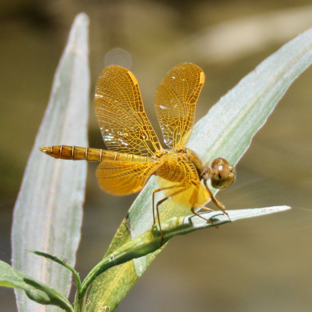 Dragonfly season is in full swing on the effluent-dependent Santa Cruz River! Here are a couple of lovely Mexican amberwings (Perithemis intensa) from yesterday #Tucson<br>http://pic.twitter.com/Arnslmr6xc