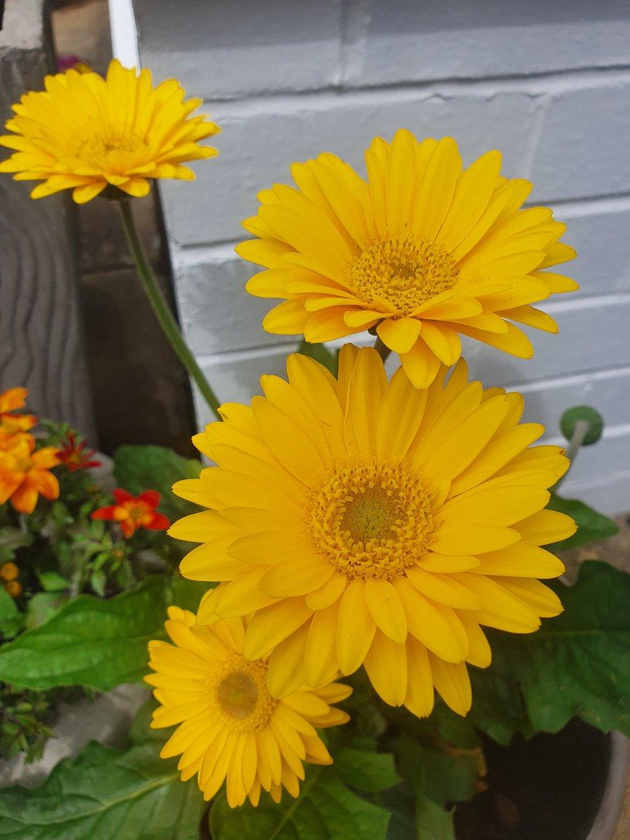 Todays flower - Gerbera #StayPositive<br>http://pic.twitter.com/uJwRcLa6w0