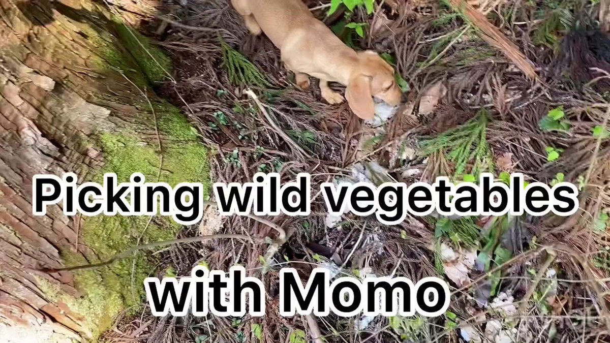 Picking wild vegetables with Momo https://youtu.be/WGE0zGzSM0Q  @YouTubeより  #犬 #dog #개 #狗狗 #Hund #Chien #Cão #Perro #canepic.twitter.com/RHNL5ejXKw