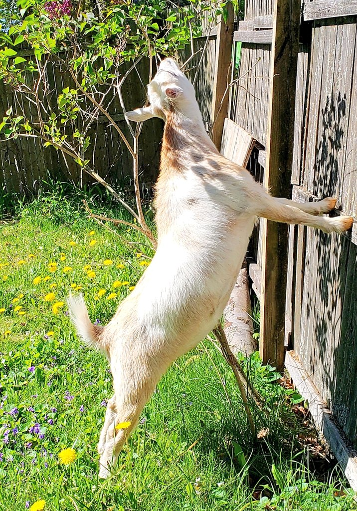 It's beautiful out! Stand tall! Stand proud! #goats loving their #SundayMorningpic.twitter.com/Gi9xy8UoGY