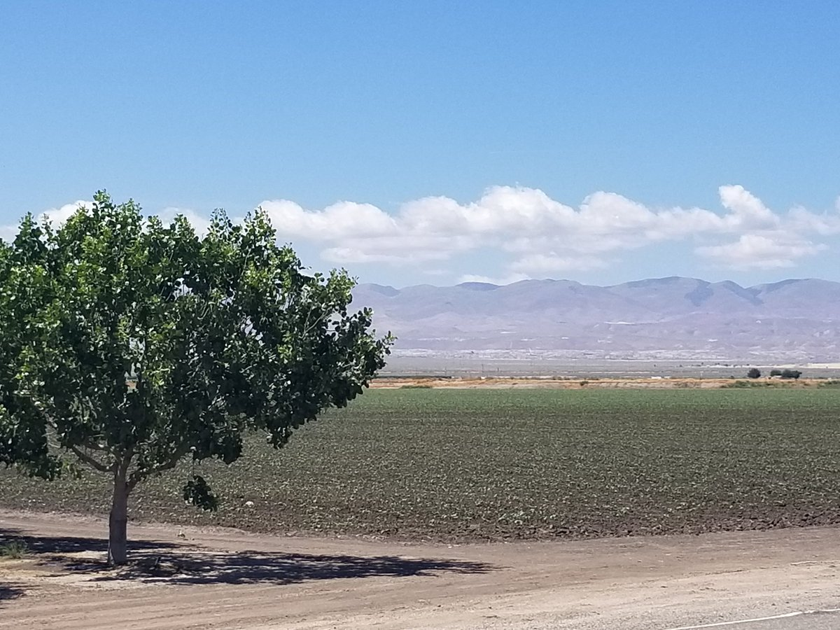 Cotton still grows in Buttonwillow but most of that ground now has Pistachio trees. #agriculture pic.twitter.com/0p2onVC1Ca
