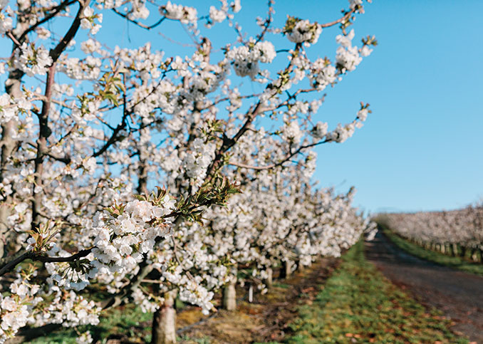 Northwest #cherry #grower #shippers anticipate ample volumes. https://t.co/1YYiWctYFX . .  @cmiorchards @ChelanFresh @OppyProduce @SageFruit @NWcherrygrowers https://t.co/luGPu4GNBj