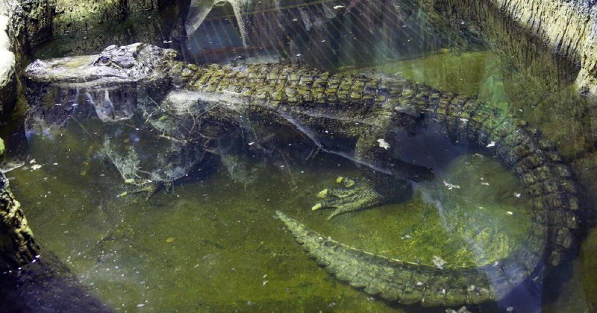 Alligator rumored to have been Hitler's dies in Moscow buff.ly/2ytCLts