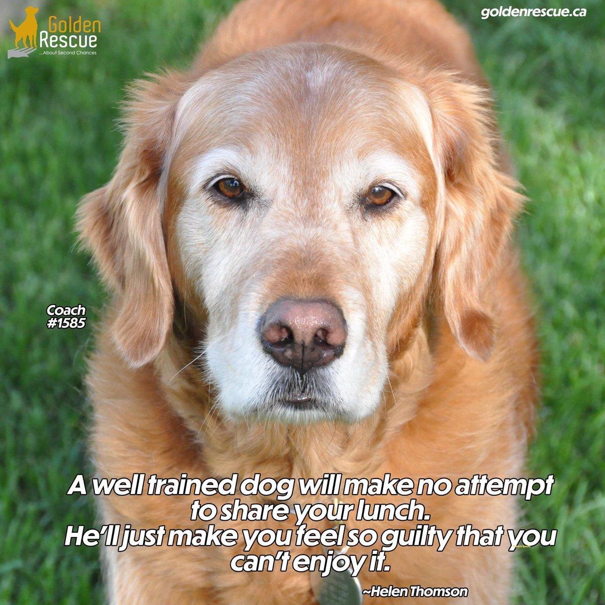 How many of us can relate?!  #goldenretriever #rescuedog #adoptdontshop #rescue #canada #secondchances #pet #dog #animal #adorable #goldenretrieverdog #cute #goldensrule #ilovemygolden #ilovegoldenretrievers #chien #perro #welovegoldens #foreverfamilypic.twitter.com/iHGPiv7Gok