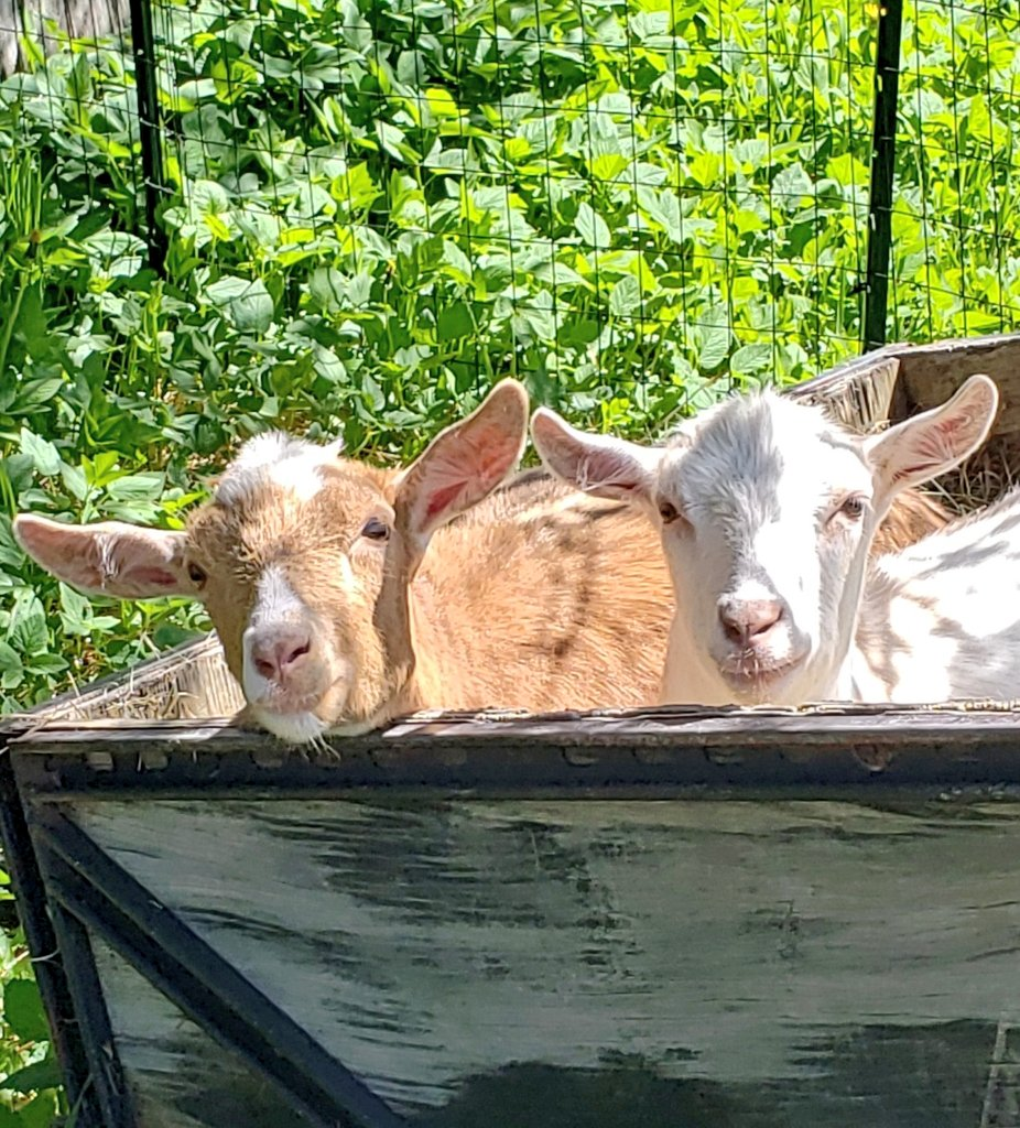 Mom says she can't find us..Hee hee Shhhhhh #goats and their #secret #HIDEOUTpic.twitter.com/Bu1Ys1ONbz