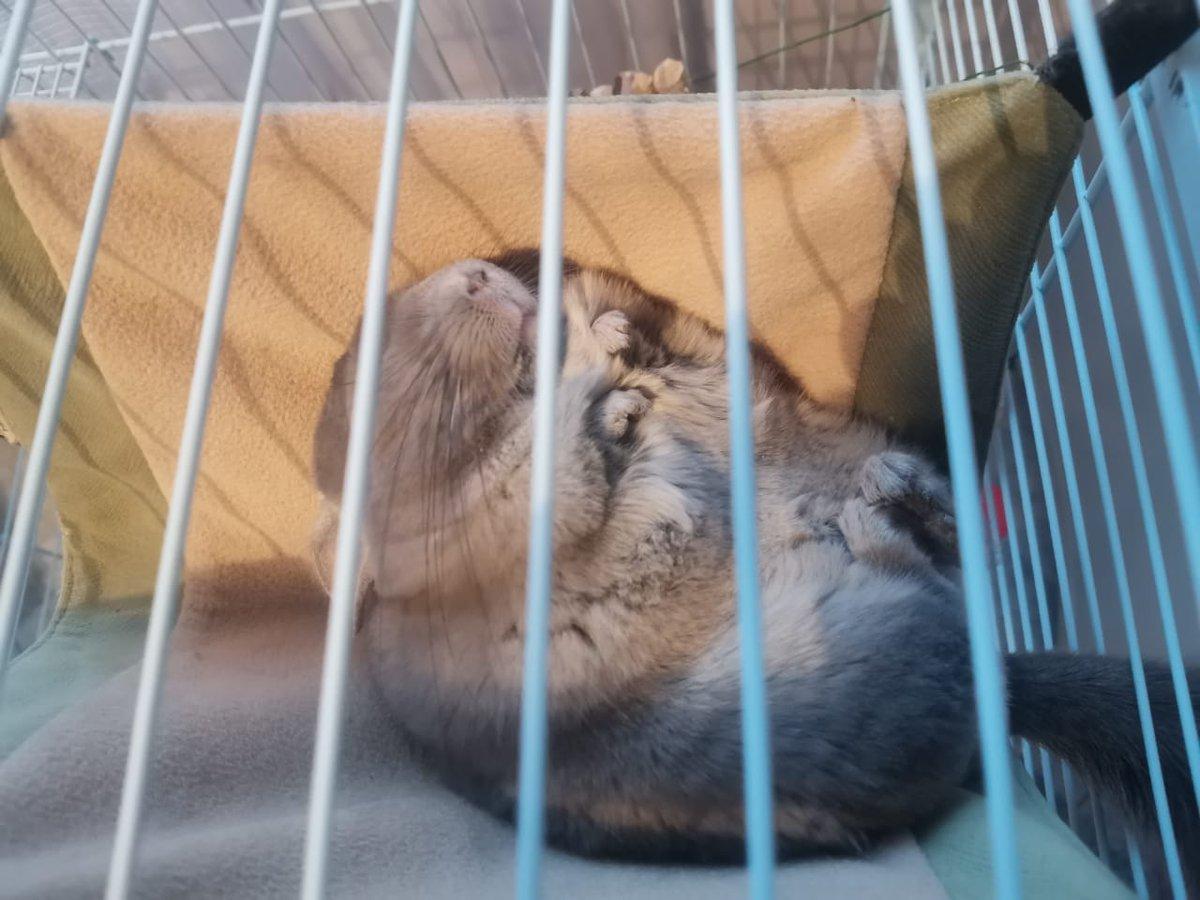 Chinchilling  #chinchilla #shooshik #pet #sleep #rest #vip #goodnightpic.twitter.com/Z6UFjmizme