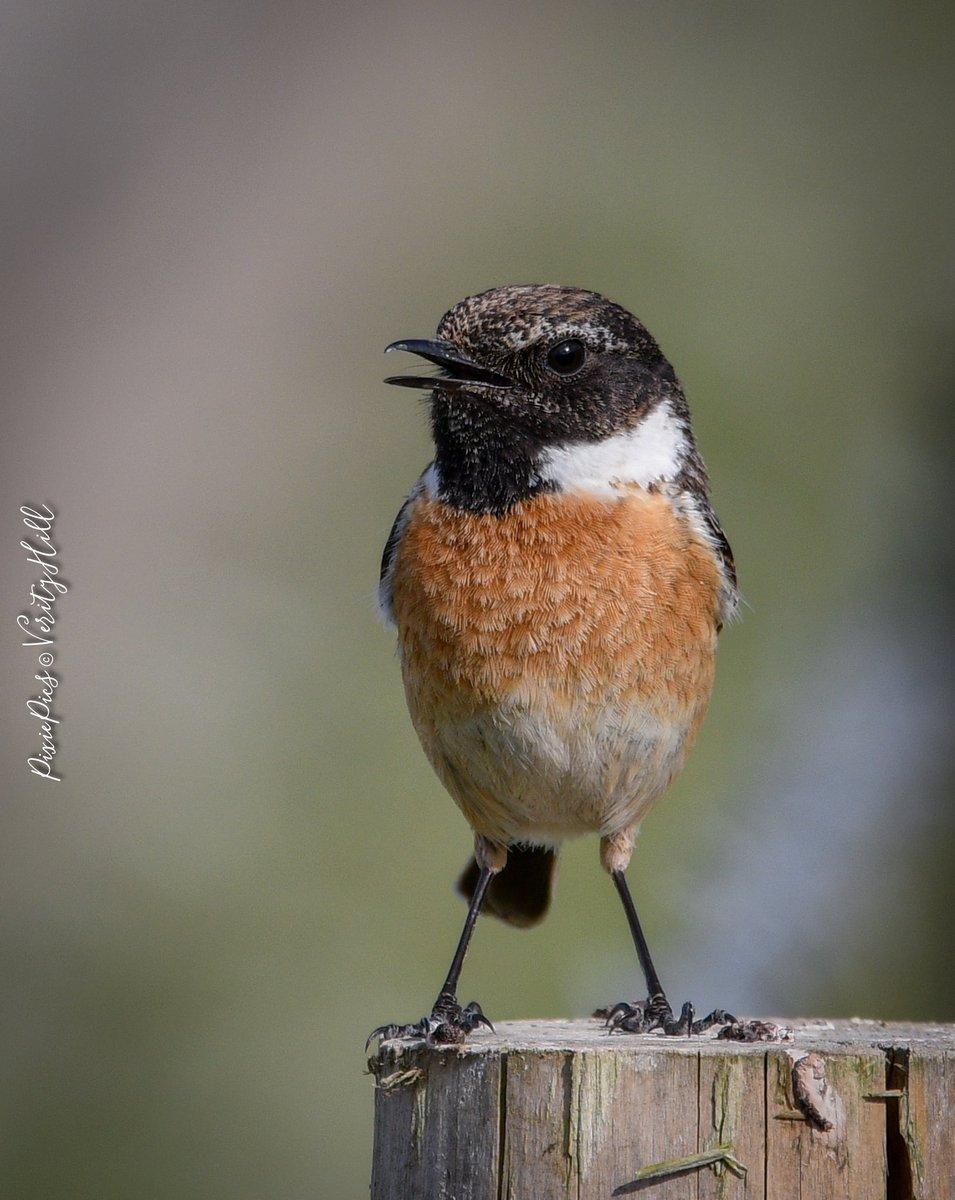 Mr Stonechat  Such a beautiful sunday walk  #stonechat #SaxicolaRubicola #birds #birdwatching #birdphotography #bbcspringwatch #bbcWildlifePOTDpic.twitter.com/0VtMiVPLVz