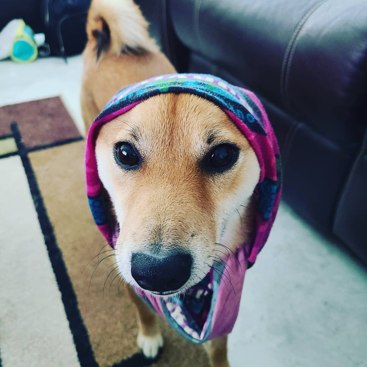 You guys. Mom found her old #survivor buff. What do you think of my war face? #buttholedog #shiba pic.twitter.com/9pLhQpTGeF