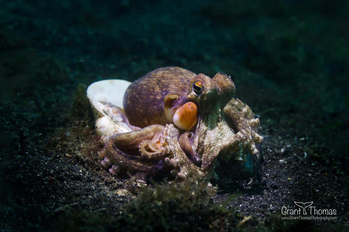 coconut octopus is a medium-size cephalopod. in order to take the shelter uses abandoned shells or coconut halves. Indeed, coconut octopus is the world smartest invertebrates.  http://www.mermaid-liveaboards.com/destinations/lembeh/… photo by Grant Thomas Photography  #underwaterphotography #coconut #octopuspic.twitter.com/13ATu3BVpb