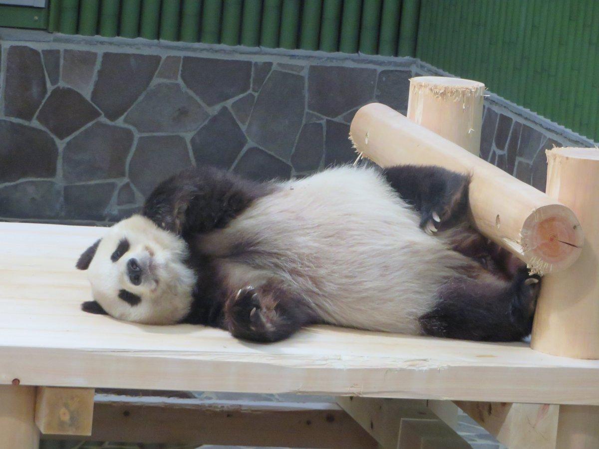 あまりにも気持ちよさそうに眠っていたので、ついついカメラを持つ僕の手がたんたんさんに寄っていってしまった結果がこれです(笑)これも #眠れる森の美女パンダ のなせる業なのか!今日もお疲れさまでした☺️#きょうのタンタン #王子動物園#圧倒的美