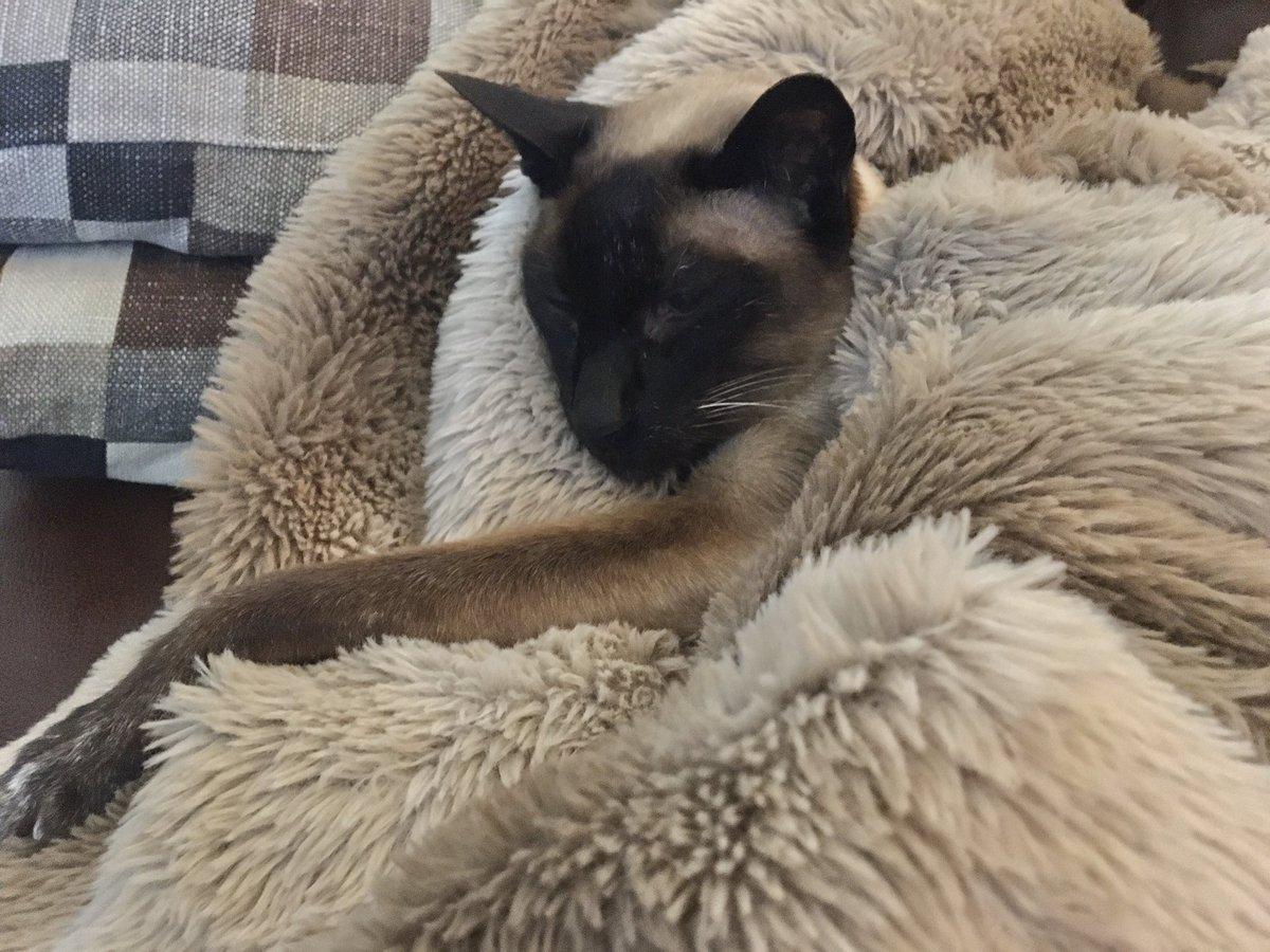 The fleecy blanket and #VoodyTheDude #SeniorStatesman have become one  since the temperatures dropped #UkWeather @jolenehunter  @OwainWynEvans #CatsOfTwitter #catsofinstagram #Siamesepic.twitter.com/BTnCKTVVh0