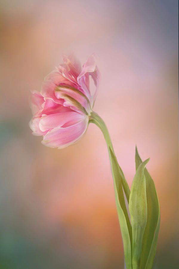 """Tulip Beauty"" by Terry Davis https://t.co/4FZwfSpfOW #Tulip #Elegant #Simply #Beauty #Pink #TerryDavis @TerryIKON https://t.co/f5LHGdBrLb"