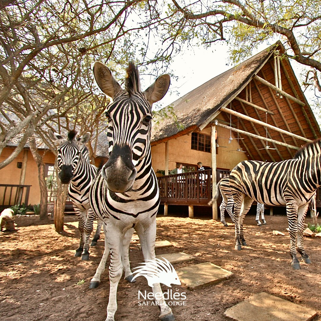"""""""Well HELLO THERE! How are you doing? . . . . #needlessafarilodge #zebra #safaricollection #southafrica #zebralove #bestvacations #beautifuldestinations #iamatraveler #lonelyplanet #happypic.twitter.com/2NK18rbvR1"""