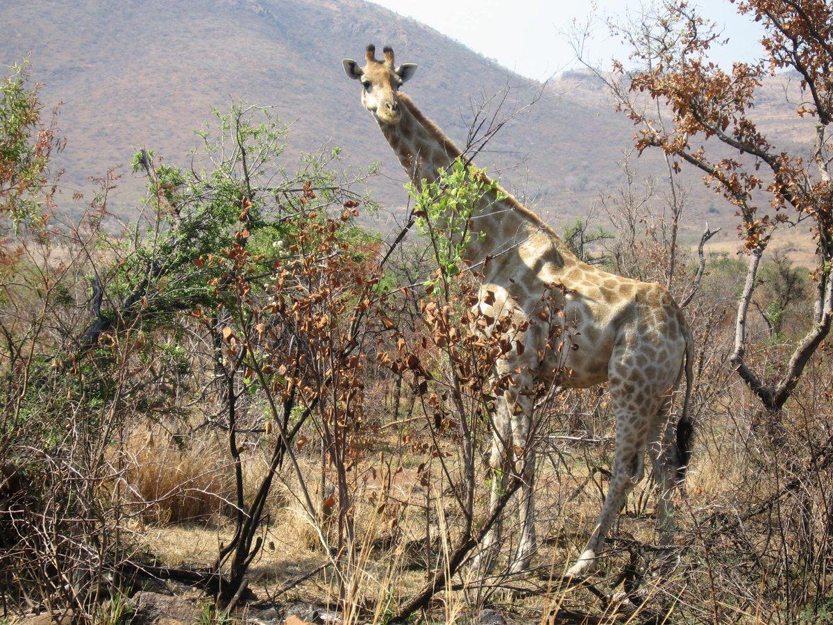#SouthAfrica #pilanesberg #wildlife #giraffe #Africa https://t.co/WwsbTRx99H