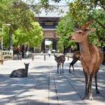 奈良のシカさん、観光客が減って逆に体調が良くなってしまう!