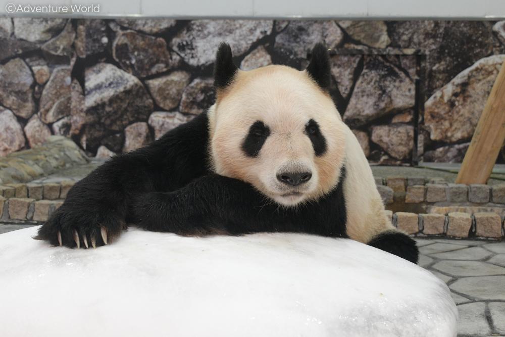冷たい氷の上でお昼寝中の「#永明(えいめい)」。#アドベンチャーワールド #顔晴ろうわかやま #Smileを届けたい #ジャイアントパンダ