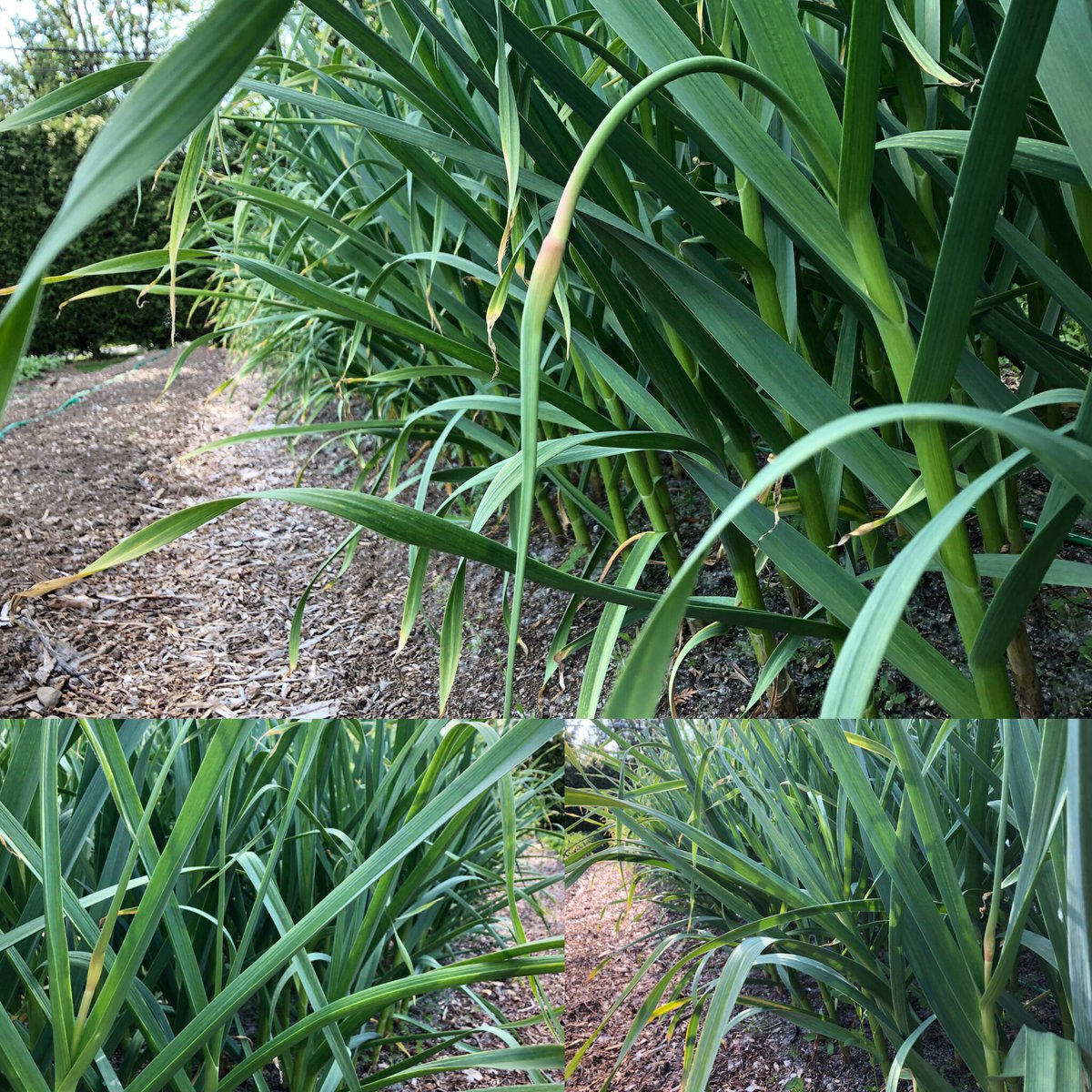 Look what we found 👀! #garlicscapes are starting to emerge! It's looking like they might be ready for next weekend!! Stay tuned!!!  #smallfarm #farmdirect #garlicfarm #local #natural #mapleridge #food #garlic #redrussiangarlic #vegetables #scapes #bcbuylocal #bcfarmfresh https://t.co/pvzIITEeQY