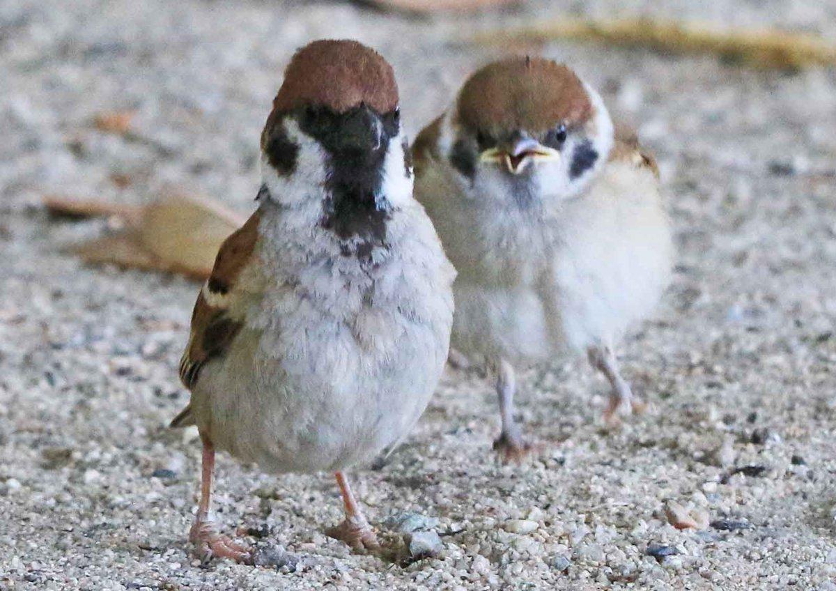 ぴょんぴょん跳ねて、お母さんを追いかける子スズメ。羽をバタバタさせて、一生懸命に食べ物をねだっています(。・ө・。)