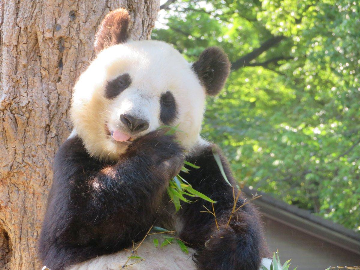 「いつもおいしい竹をありがとう。」         by 🐼タンタン🐼 #きょうのタンタン番外編 #王子動物園#淡河 #神戸市