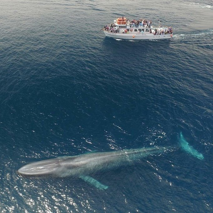 "Massimo on Twitter: ""The blue whale, at up to 29.9 metres (98 ft) in length  and with a maximum recorded weight of 173 tons, it is the largest animal  known to have"