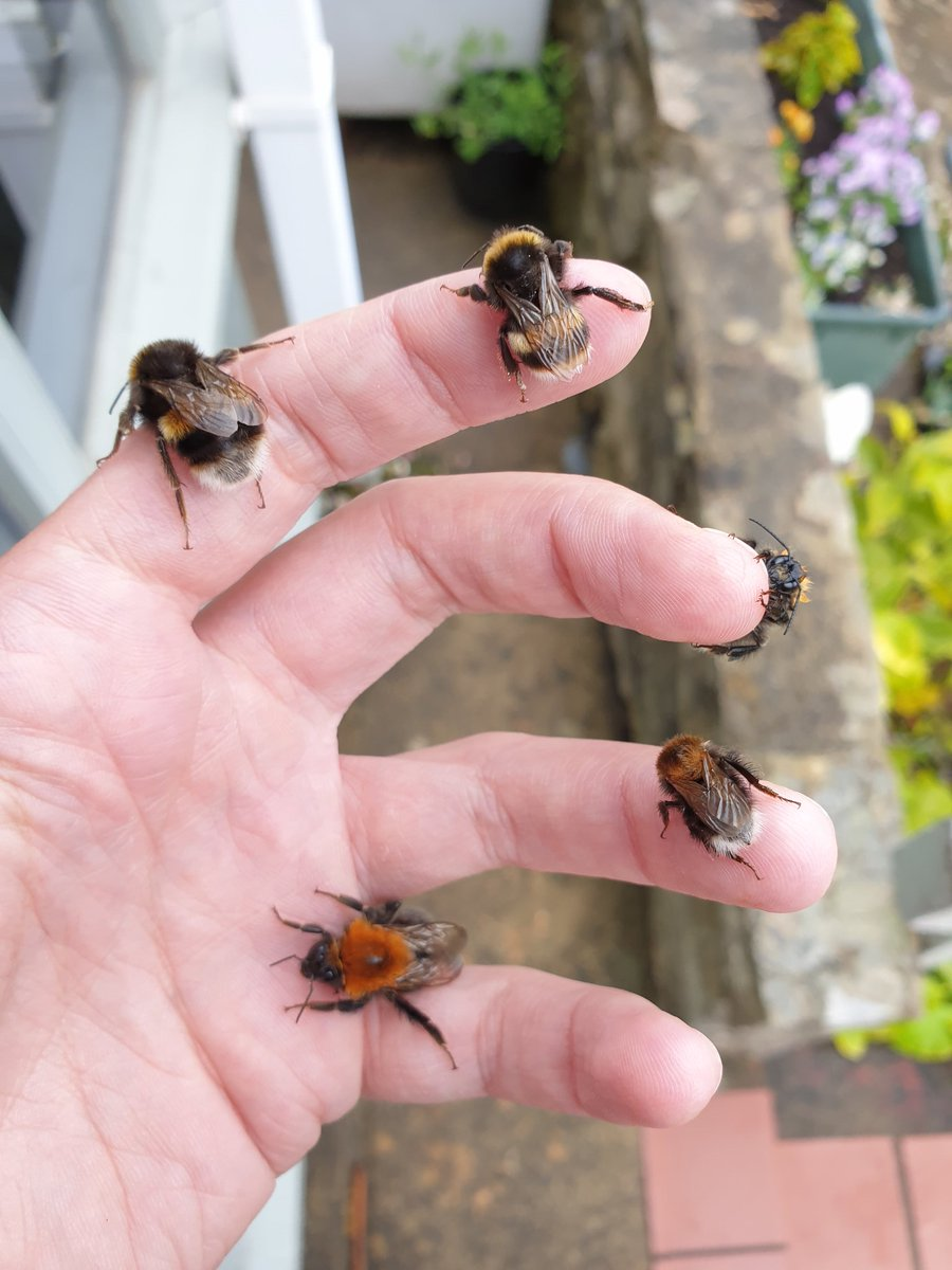 Lending these wet bees a warm hand #bumblebees #SaveTheBees 🐝