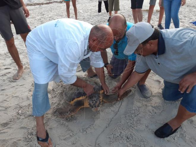 """#Tunisia: a 10-year-old turtle rescued by #INTSM #Monastir and """"Notre grand bleu"""" association was cared for, registered and then released off the local beach of Kraaya, said head of Center of study and care of marine turtles in the region. #TAP_Enpic.twitter.com/yoxPUBv7RE"""