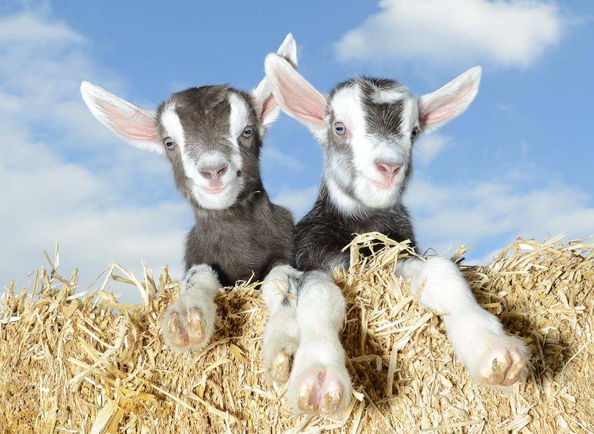 Its #NationalBestFriendsDay today, check out this lovely pic of these two friendly goats from @PennywellFarm they look like they are the best of friends. It shouldn't be too long until you can visit, hang in there. #staysafe #MondayMotivation #cutepic @VisitDevon