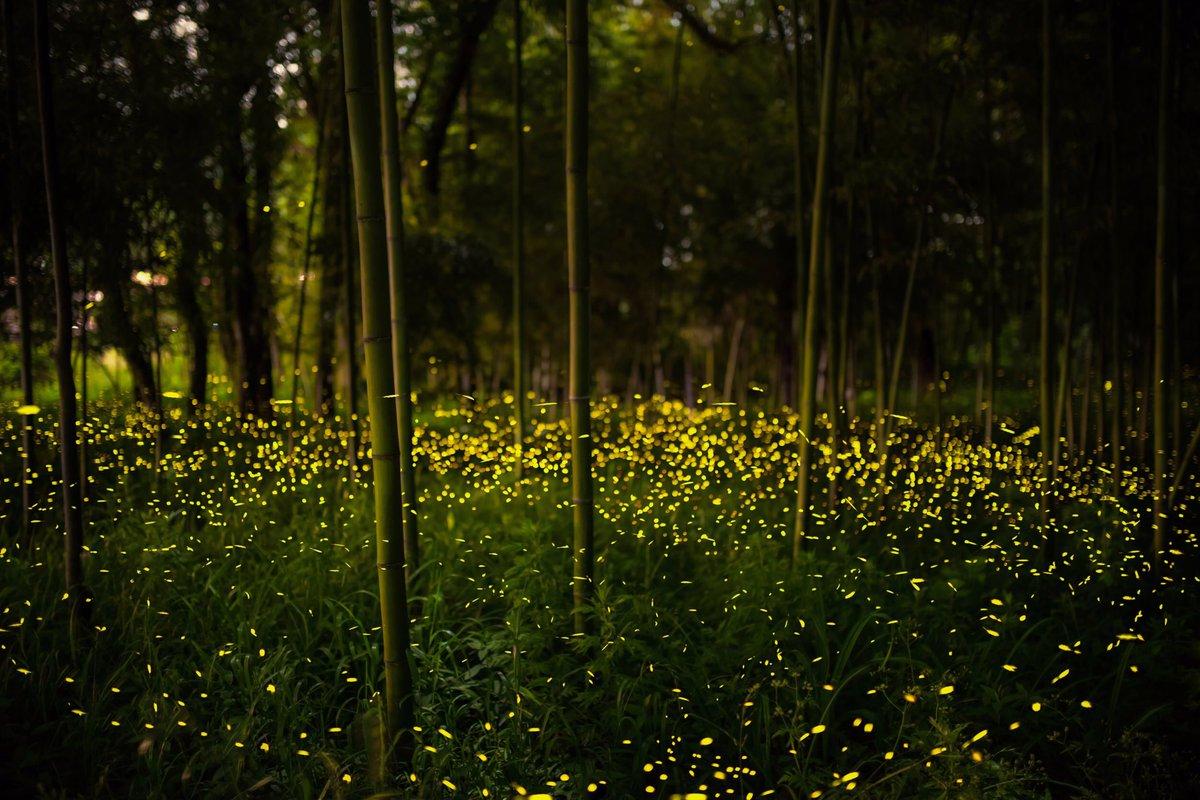 岐阜のヒメボタル。 深夜1:00、光の呼応が美しい。 #岐阜 #ヒメボタル #東京カメラ部pic.twitter.com/GMWZX0L916