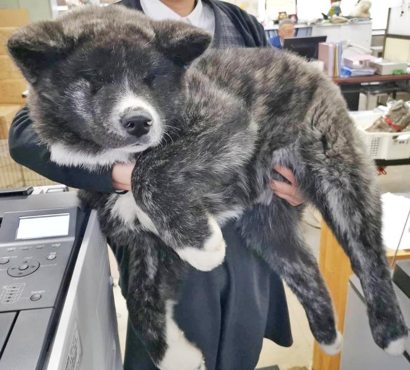 「18キロです……生後3カ月なんです……」秋田犬の子犬がでっかくてもふもふ @itm_nlabzoo