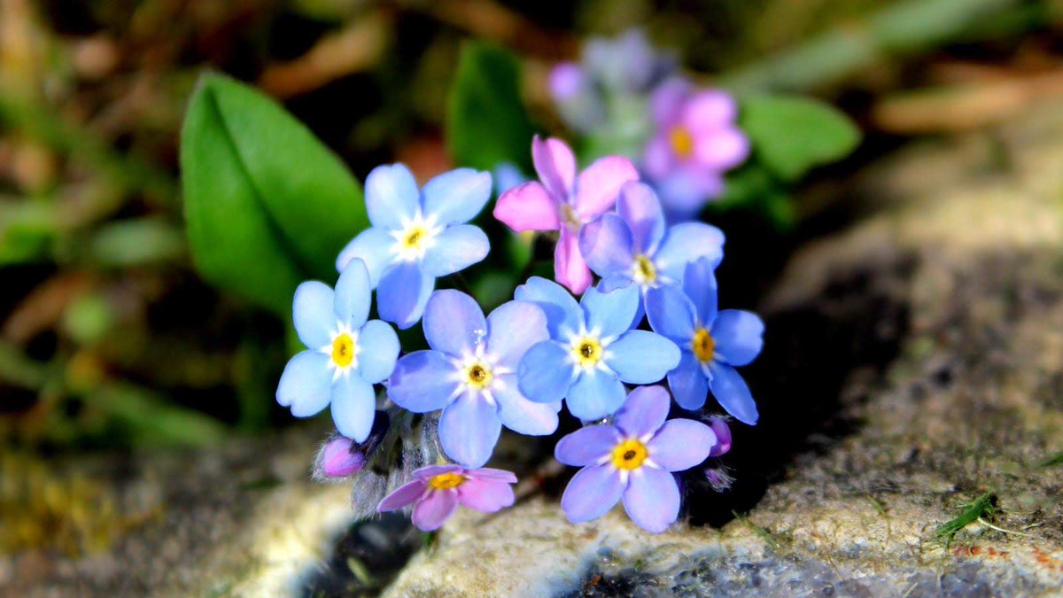 Forget me not amazingly still liking fresh it's normally all raggle taggle by now #flower #gardening #gardenlove #photographypic.twitter.com/UQtxG09pfA